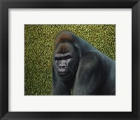 Framed Gorilla With A Hedge