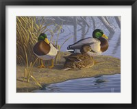 Framed Evening Rest - Mallards