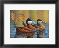 Framed Stiff Tails Ruddy Ducks