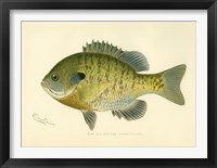 Framed Blue Gill Sun Fish