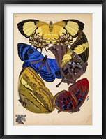 Butterflies Plate 12 Framed Print