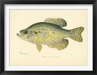 Framed Crappie