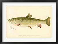 Framed Female Brook Trout