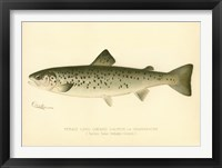 Framed Female Land Locked Salmon