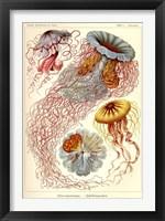 Framed Jellyfish, Discomedusae