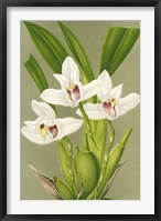 Framed Maxillaria Orchid