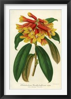 Framed Orange Yellow Rhododendron