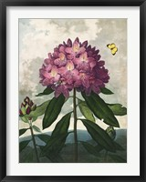 Framed Pontic Rhododendron