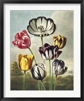 Framed Tulips from the The Temple of Flora