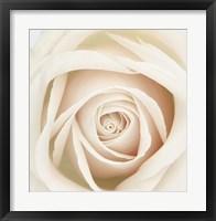 Framed Dawn Rose