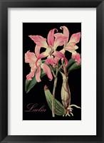 Laelia Framed Print