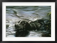 Framed Black Lab Swimming