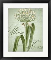 Allium I Framed Print