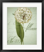 Allium II Framed Print