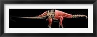Framed Apatosaurus Skeleton