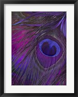 Peacock Candy IV Framed Print
