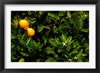 Framed Orange Tree, Tenerife, Canary Islands, Spain
