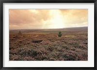 Framed Heather, near Danby, North York Moors, England