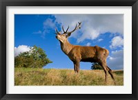 Framed UK Red Deer in countryside