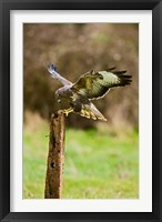 Framed UK, Common Buzzard bird on wooden post
