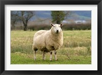 Framed UK, England, Cotswold Sheep farm animal