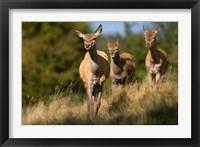 Framed UK, England, Red Deer, Hinds on heathland