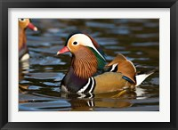 Framed UK, Mandarin Duck wildlife