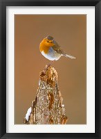 Framed UK, Robin bird on tree stump, Winter