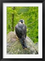 Framed Wildlife, Peregrine Falcon Bird on Rock