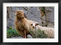 Framed Greece, Crete, Lasithi, Wild Sheep, Kavousi Gorge