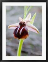 Framed Greece, Crete Orchid in Bloom