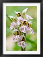 Framed Orchid in bloom, Crete, Greece