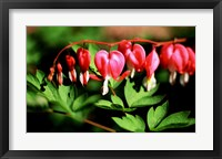 Framed Bleeding Heart