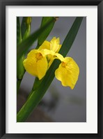Framed Yellow Flag Iris