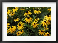 Black-Eyed Susans Framed Print