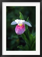 Framed Lady Slipper