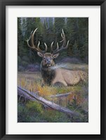 Framed South Fork Bull