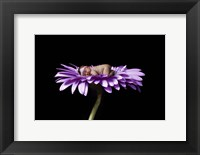 Hansen Purple II Framed Print