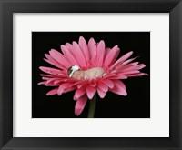 Nielson Pink Daisy Framed Print