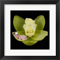 Orchid Baby Framed Print