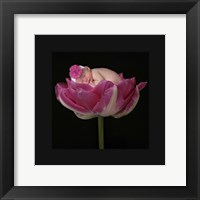Pink Tulip Upwards II Framed Print