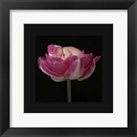 Pink Tulip Upwards II Framed Print