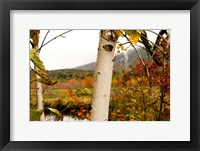 Framed Birch