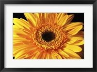 Framed Gerbera Flower