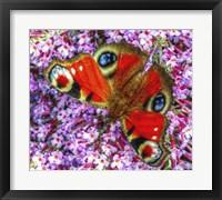 Framed Peacock Butterfly 2