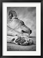 Framed Lions Paw