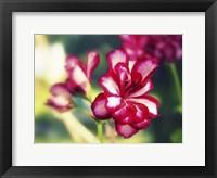 Framed Pink Blossom I