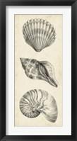 Antique Shell Study Panel I Framed Print
