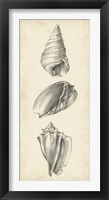 Antique Shell Study Panel II Framed Print