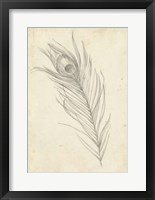 Peacock Feather Sketch I Framed Print